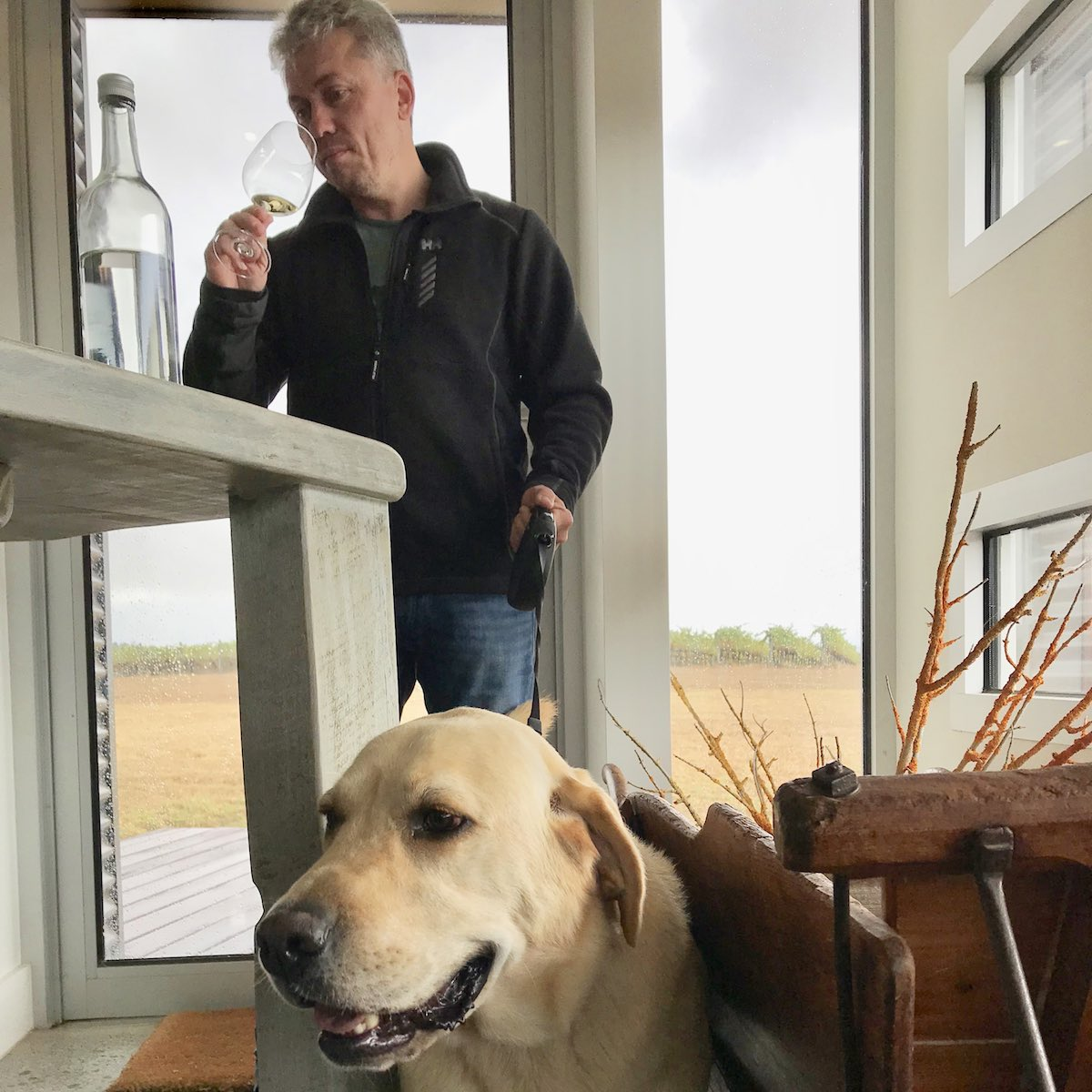 Labrador on a pooches and pinot dog wine tour at Maddens Rise cellar door