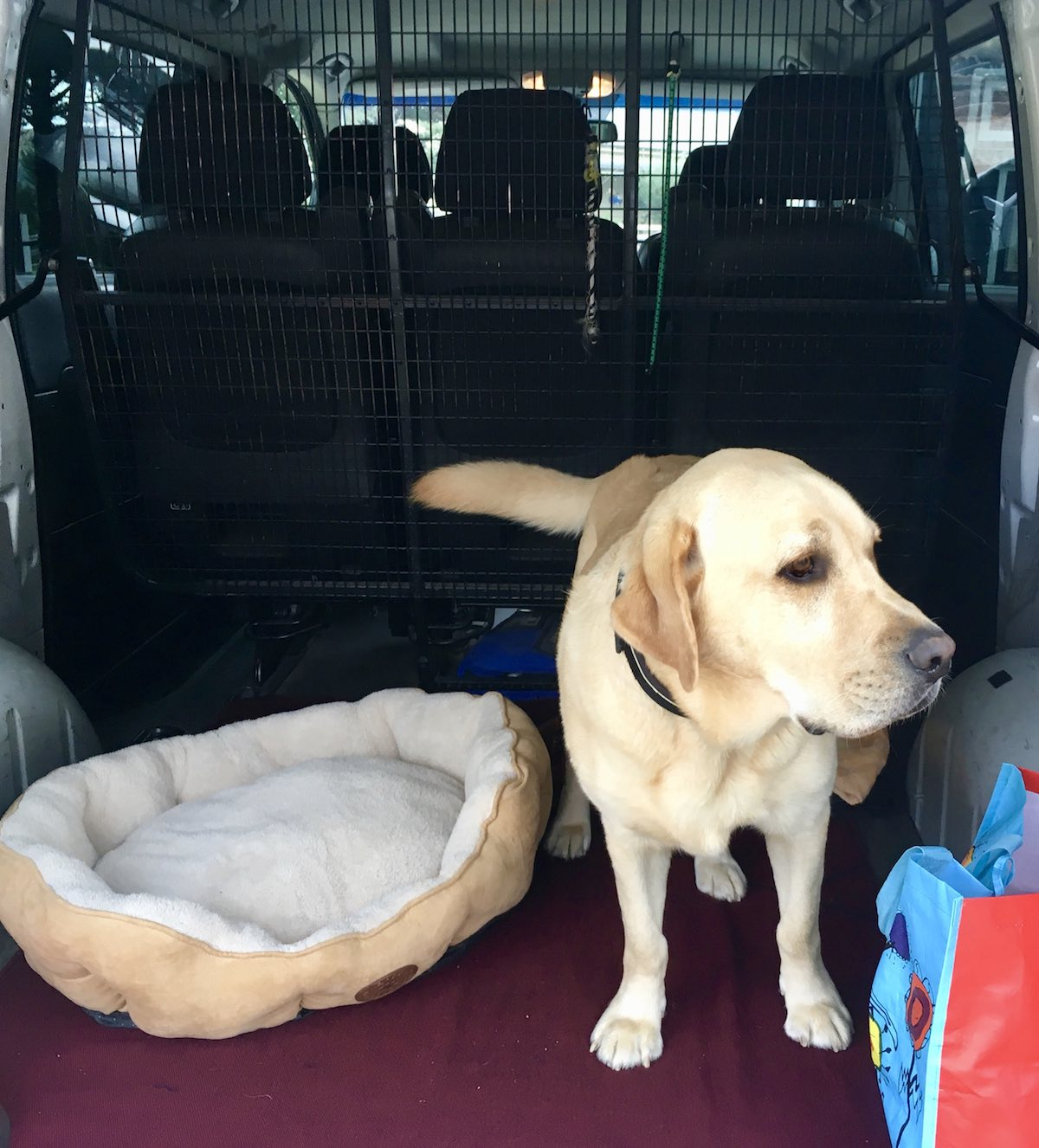 Labrador on pooches and pinot doggy wine tour