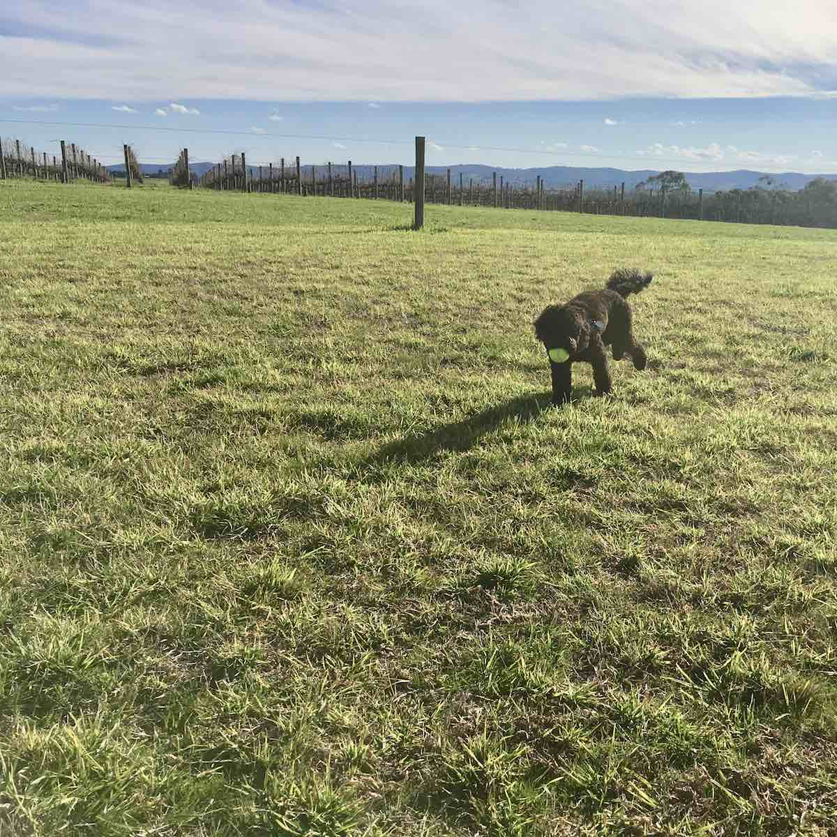 chasing a ball on a Yarra Valley Pooches and Pinot doggy wine tour