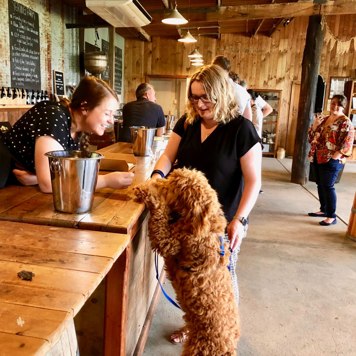 Groodle on a Pooches and Pinot wine tour