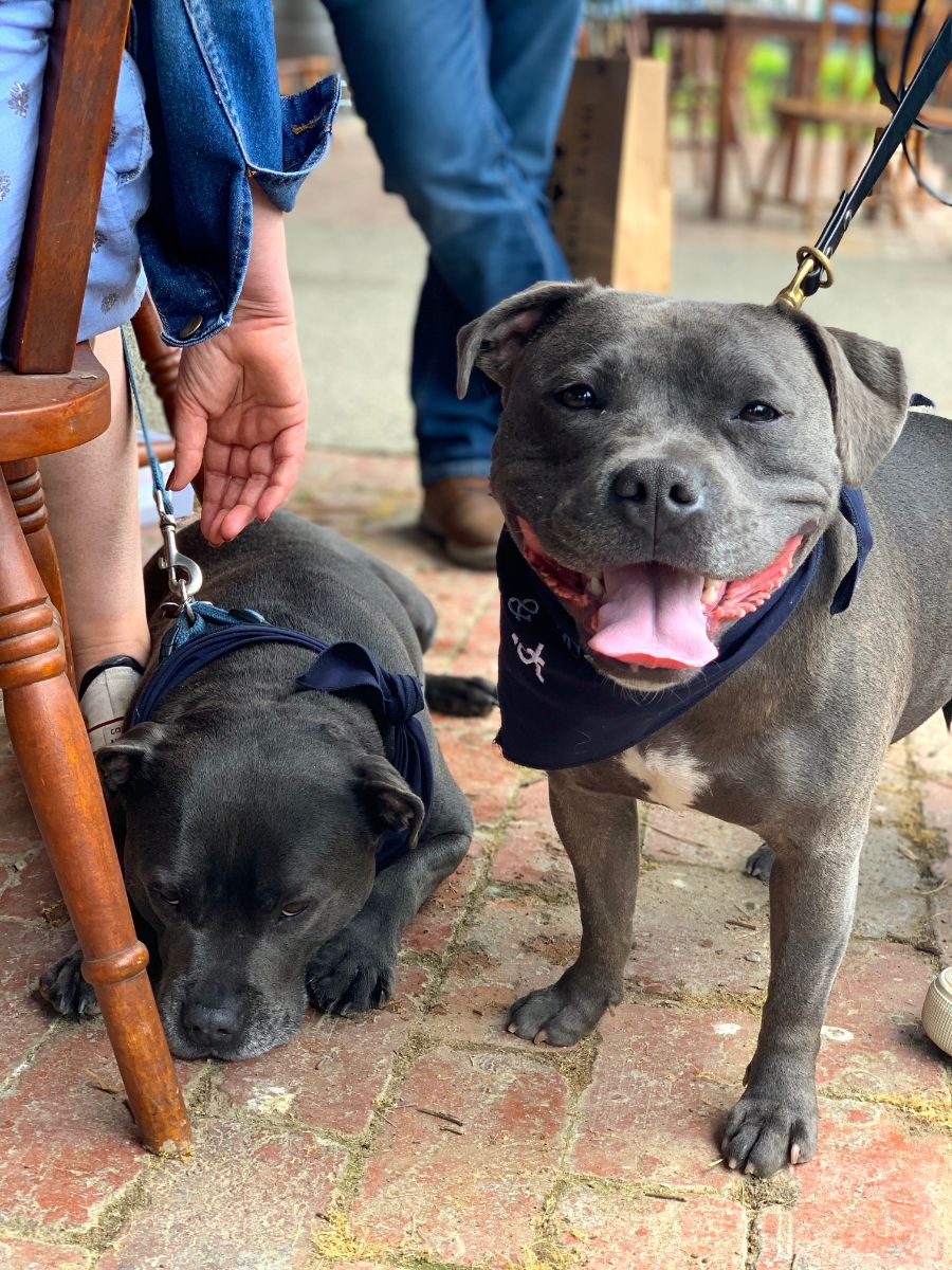 two staffies on Pooches & Pinot wine tour