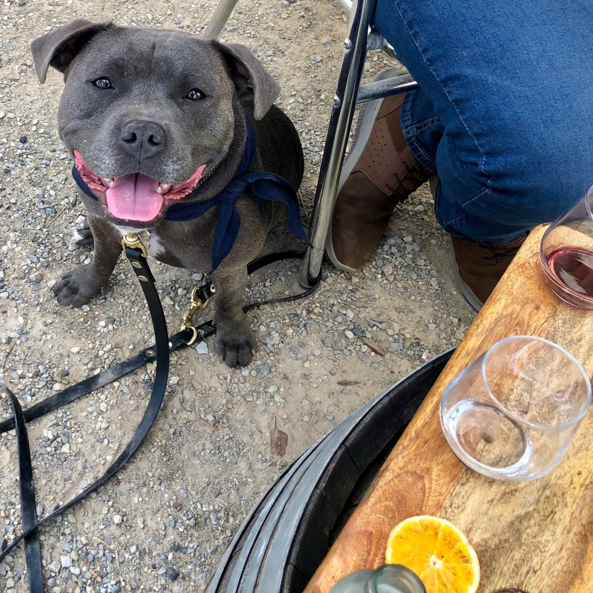 staffy on private wine tasting tour with pooches and pinot