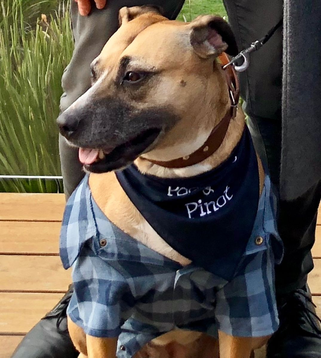 staffie on prive dog friendly wine tour with Pooches & Pinot
